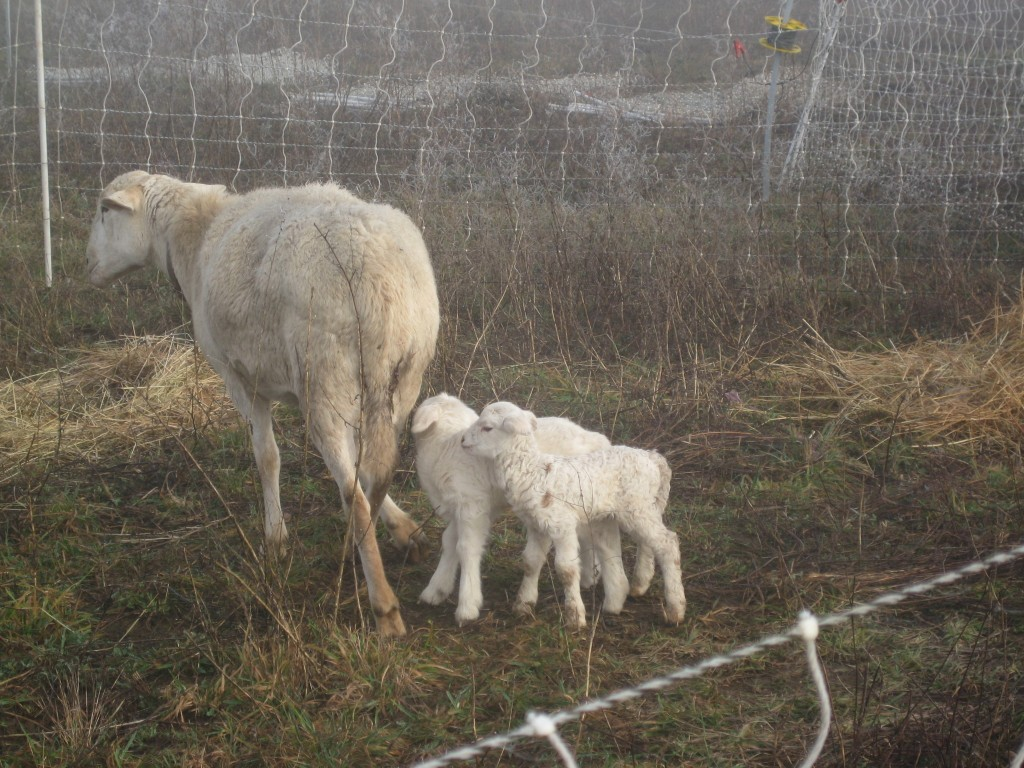 Two day old lambs and a ewe enjoy a misty and chilly morning on the farm.