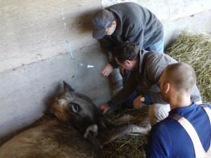The vet, the retired anesthesiologist, and the farmer keep watch over Annie as she gets her IV of calcium gluconate.