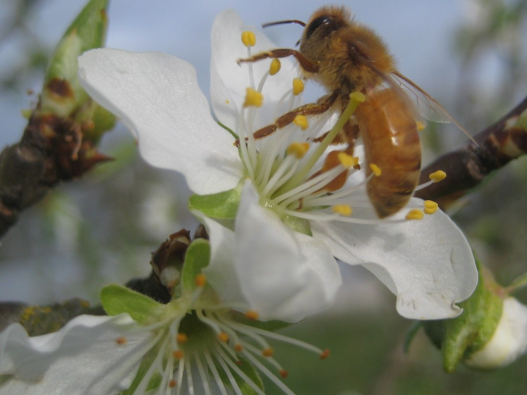 ... these busy workers! It's always heartening to see pollinators hard at work when trees are in bloom.