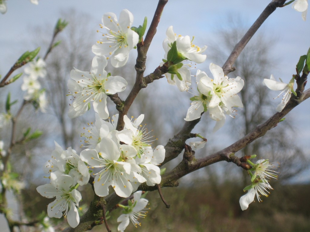 Blossoms everywhere! In addition to cherries, our plums are blooming. Look closer in these blossoms and you'll find ...