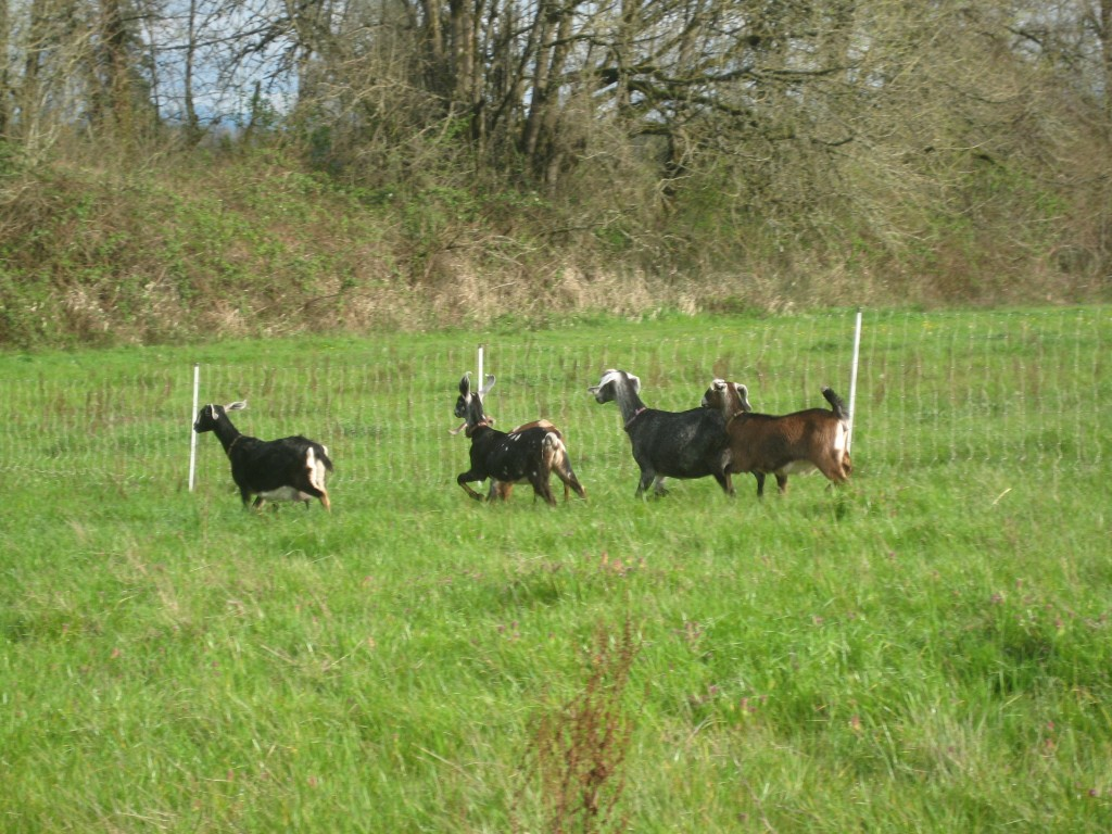 That gorgeous spring green pasture is being thoroughly enjoyed by the goats. They ran away when I went out to take their photo, naturally. I should have brought a treat.