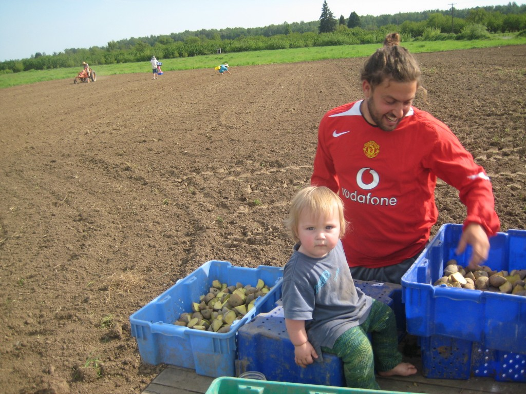 Last Friday, one of our youngest CSA members supervised as Jasper cut potatoes for seed. In the background, you can see folks dropping cut seed into furrows. On the far left is Casey riding our little orange tractor, covering up those seeds with hilling discs.