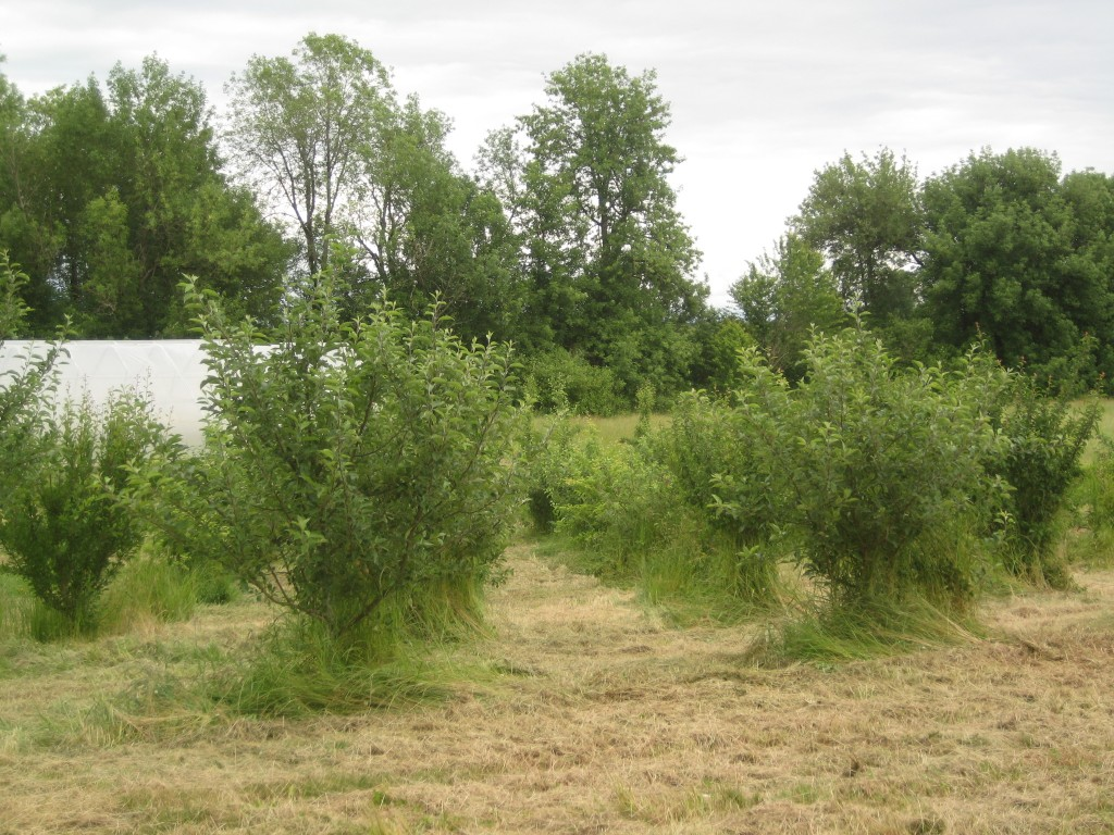 Time to mow! I wish I'd taken a before and after photo of this orchard. The grass was well above the lowest branches, creating a seemingly impenetrable wall around the trees. Now they are freed! And look at how large they are! We planted this orchard in 2010 ...