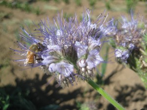 Also hard at work in our fields — bees! This blossom is a phacelia flower, one of our favorite flowers to plant to attract beneficial insects to our fields. Bees LOVE it.