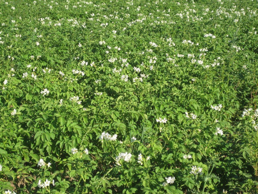 Just past all those recently weeded crops are some of our potatoes, now in full bloom and quite bushy. Another satisfying crop to grow.
