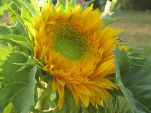 The first open sunflower in our garden!