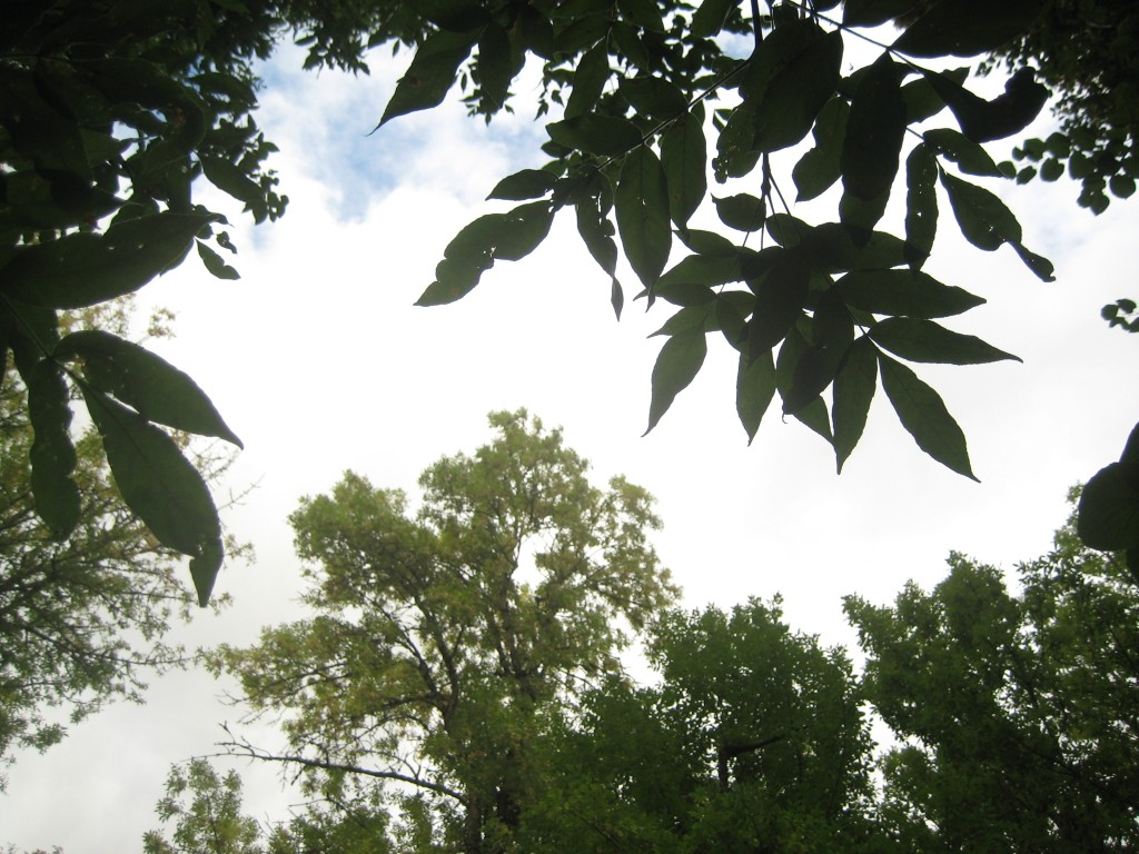 Looking up at the treetops from the banks of our little creek -- beauty found in verdant shapes.