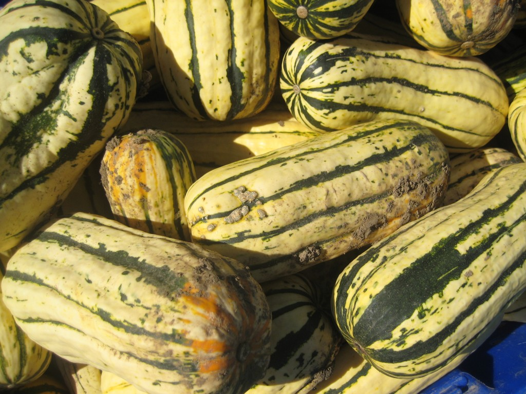 """And, in the fields, we're continuing the gratifying work of bringing in our big fall harvests. These projects will last for several months, as we pick apples, cut squash, dig sweet potatoes and more. This afternoon I took what I described as my """"annual photo of delicata squash in a bin."""" Yes, I'm sure I take a variation on this photo every year, because every single year I marvel at the glowing beauty of these squash!"""