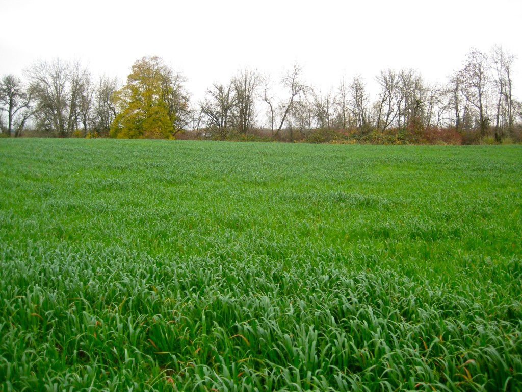 A oat cover crop grows on the field where we will plant vegetables next year. A sweet comforting sight as we go into our quiet break season of the year.