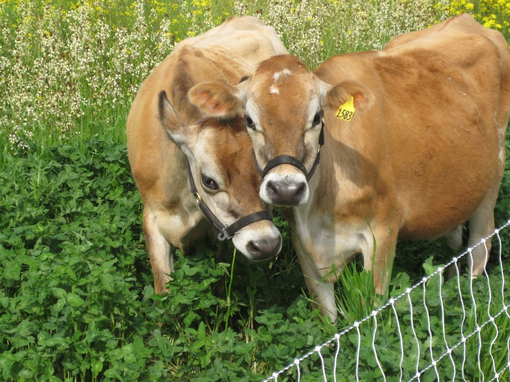 2012 - This was quite the year to say the least. We expanded our acreage from 17 to 100 acres and added a huge number of operations to the farm. We bought our first dairy cows (Willa and Annie), the first of many animals to join us on the farm.