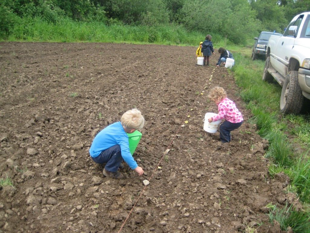 2014 - And then the babies grew to children who could help us plant potatoes (CSA member children — and their parents — were out there helping too!).