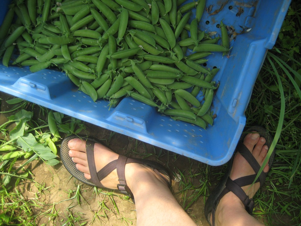 Picking peas this afternoon.