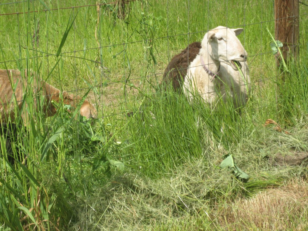 The sheep gathered along the fence this afternoon, the munch on the pea plants we tossed over the top.