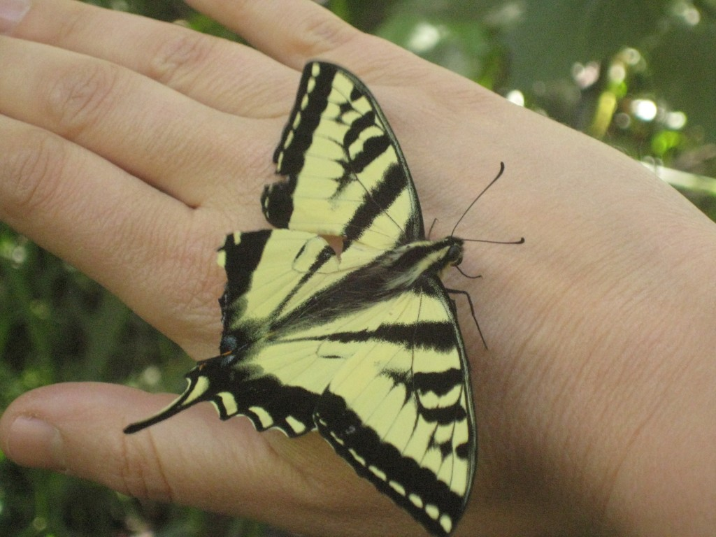 I found a swallowtail butterfly on our hike this Monday. I thought it was injured, but after me holding it for a few minutes, it flew away into the trees.