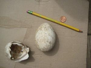 A big egg! (And half an egg shell too.)