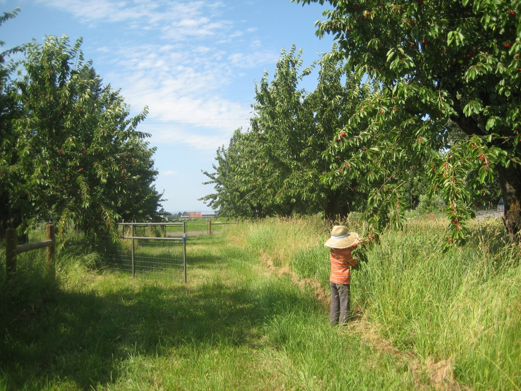 """Obviously taken on a NOT """"gloomy"""" June day -- Rusty picking and eating the low hanging fruit from our cherry trees."""