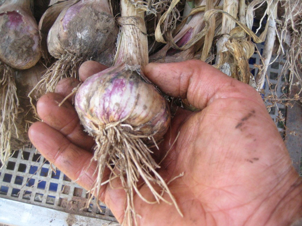 Close up shot of garlic and the farmer's hand again!