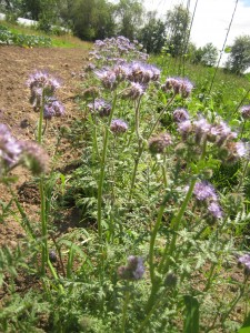Blooming phacelia in rows with our vegetables — one of our favorite flowers to plant just for the purpose of attracting beneficial insects into our fields.