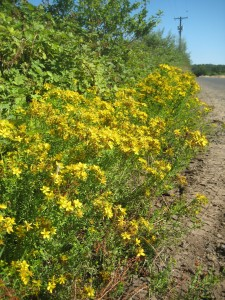 We planted willow in our hedge, but other plants have taken root there as well, such as this stand of St. John's Wort.