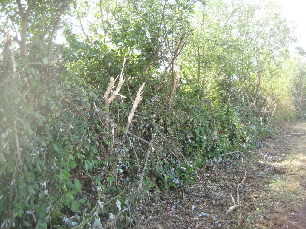 This is one of the less dramatic sections of our hedge. In some places, the trees are completely gone.