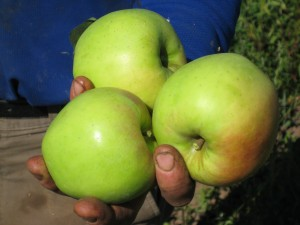 "Another ""fruit-in-hand"" photo ... of the first apples of the year! Hoorah!"
