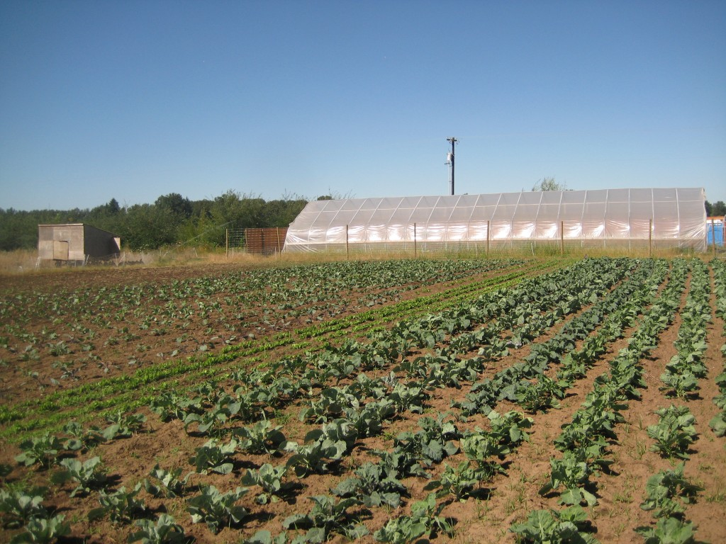 First photo of today: a nice farm-y image of the growing fall brassica field, a greenhouse, and our mobile chicken coop (in the background).