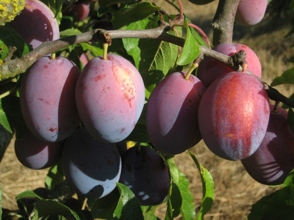 "The first of the ""prune"" type plums will be ready to pick for next week's CSA!"
