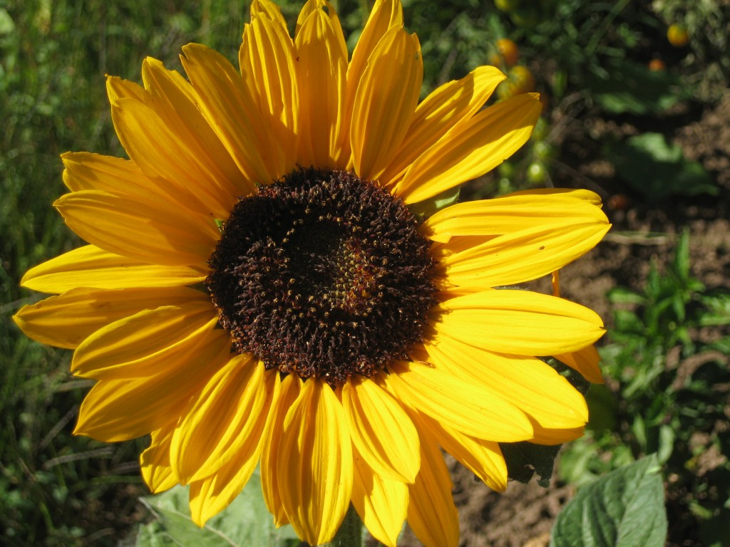 Sunflower = the symbol of late summer!