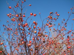 Rose hips on a sunny winter day