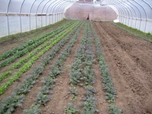 Crops growing in one of our high tunnels -- picture taken this very afternoon! Looks like spring in there already.