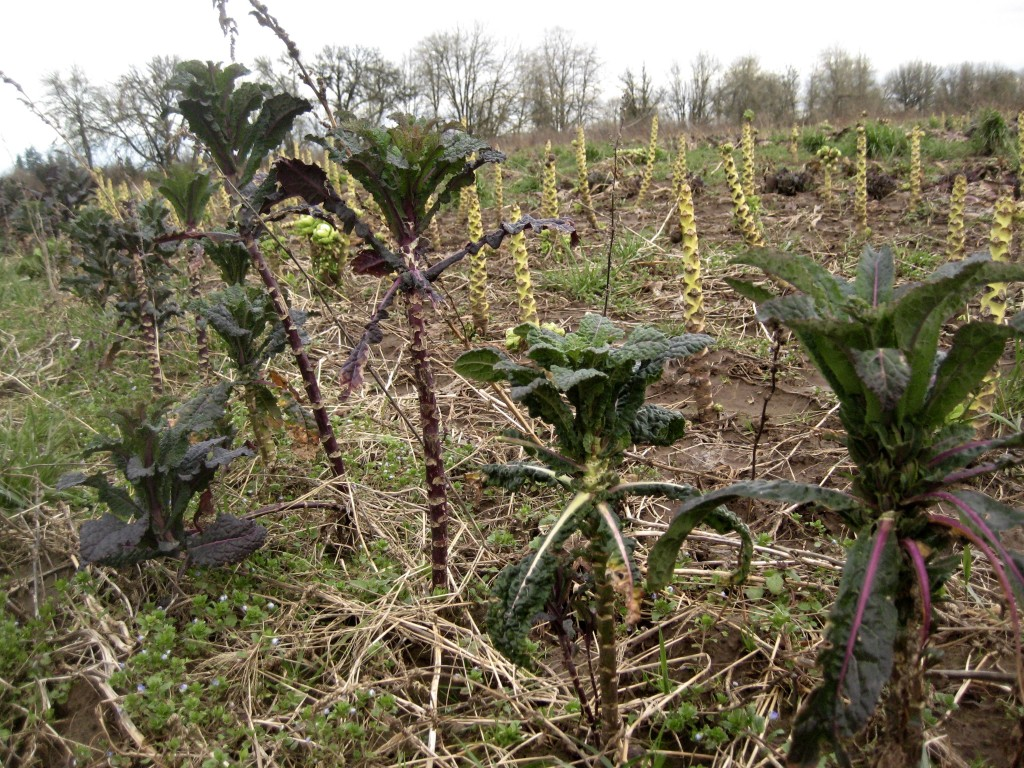 Over-wintered kale in front of a Brussels sprout stalk forest.