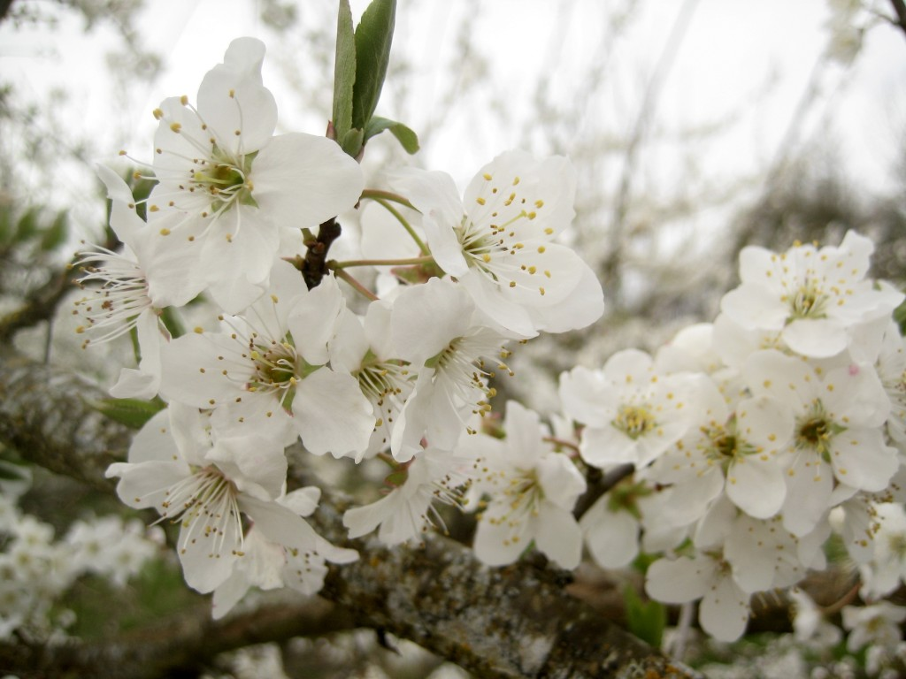 Pretty much unrelated to this week's topic, but this is a pretty photo of our earliest plums blooming right now!