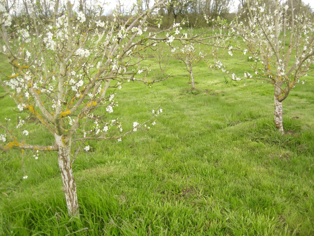 Blooming plum trees + freshly mowed orchard floor = pretty spring sight.