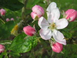 "Apple blossom! And a brief ""sun break"" moment on the weekend."
